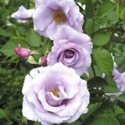 Розы Диорессенс