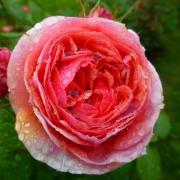 Розы Мэри Энн