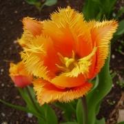 Тюльпаны Ламбада