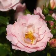 Розы Соммермелоди