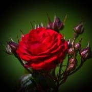 Розы Кордула