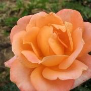 Розы Атлантис Стар