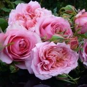 Розы Моник