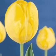 Тюльпаны Голден Бриджитта