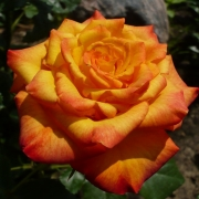 Розы Цирк