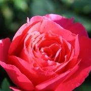 Розы Сувенир де Эдуард Мауберт