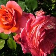 Розы Цимароза