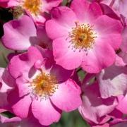 Розы Сиеста