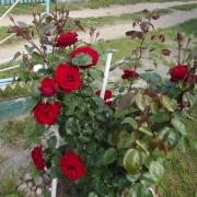 Розы Дам де Коур