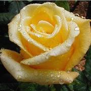 Розы Гельмут Шмидт