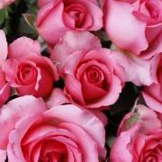Розы Мундиале