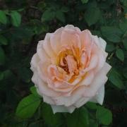 Розы Марина Стевен