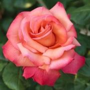 Розы Христофор Колумб