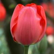 Тюльпаны Гордон Купер