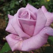 Розы Твайс ин э Блю Мун