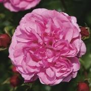 Розы Медуза