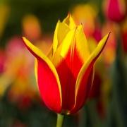 Тюльпаны Синаеда Кинг