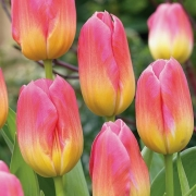 Тюльпаны Том Поуз