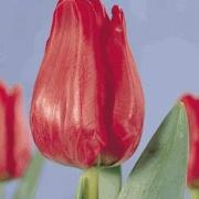 Тюльпаны Симпатия