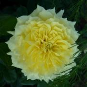 Розы Чайна Герл