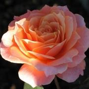 Розы Бордюр Эприкот