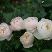 Розы Шепхердесс