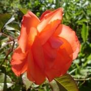 Розы Джозефс Коат
