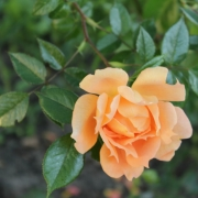 Розы Феллоушип
