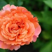 Розы Этруска