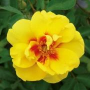 Розы Айконик