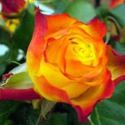 Розы Текила Санрайз