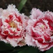 Тюльпаны Квинслэнд