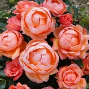 Розы Леди Мармелейд