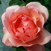 Розы Хэвен оф Эарз