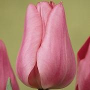 Тюльпаны Кайзерин Мария Тереза