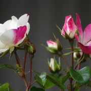 Розы Окки ди Фата