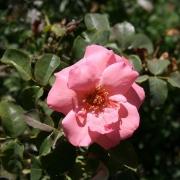Розы Соммерфроиде