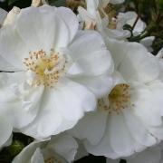 Розы Шнифлоке