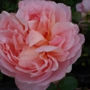 Розы Кетрин Мурли