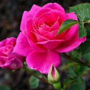Розы Ранде-ву