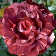 Розы Брауни
