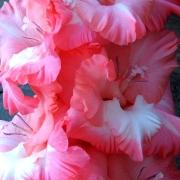 Гладиолусы Розовый Вальс