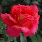 Розы Парфюм де Грассе
