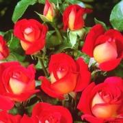 Розы Гипси