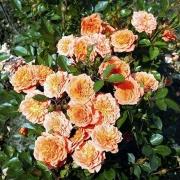 Розы Нинетта