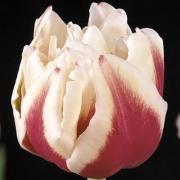 Тюльпаны Зизани