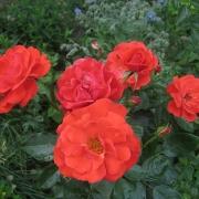 Розы Клос Флойри Вермиллон