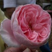 Розы Нахема