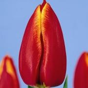 Тюльпаны Асирам