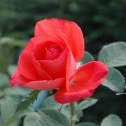 Розы Адванс